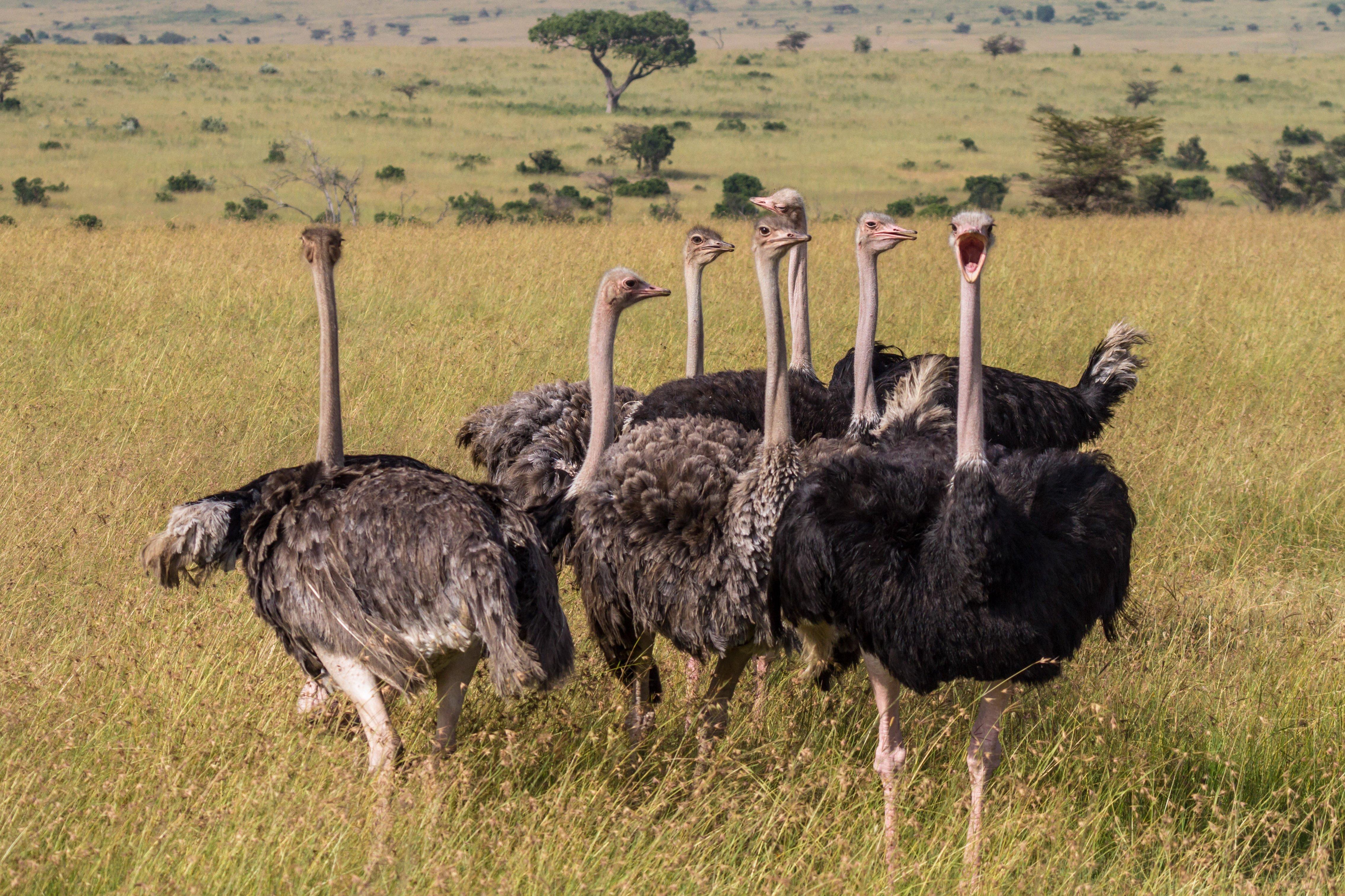 Ostriches Photo Benh Lieu Song Cincinnati Zoo Blog