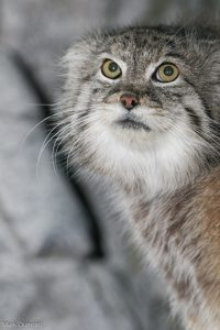 Pallas' cat (Photo: Mark Dumont)