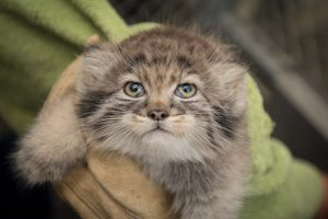 Pallas' cat kitten produced by artificial insemination performed by CREW scientists (Photo: Columbus Zoo & Aquarium)