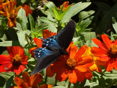 Pipeline swallowtail on Zinnia Zahara 'Fire'