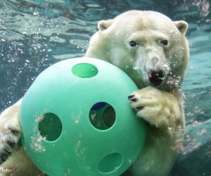 Polar bear plays with a ball (Photo: DJJAM)