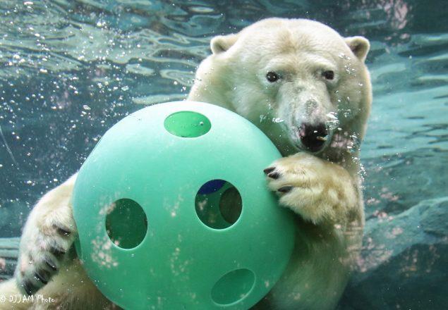 Polar bear plays with a ball (Photo: DJJAM)