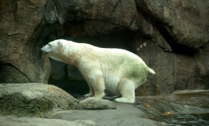 Polar bear producing a fecal sample (Photo: SRSLYGUYS)