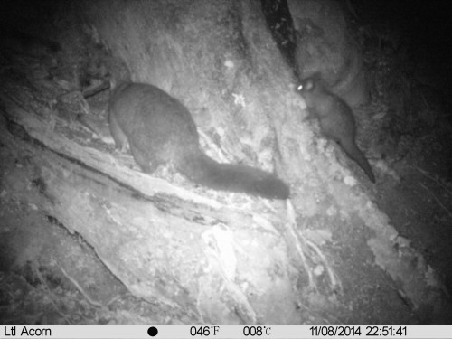 A brush-tailed possum caught on camera visiting a kea nest (Photo: Kea Conservation Trust)