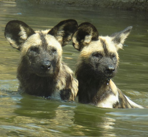 Pups swimming in exhibit