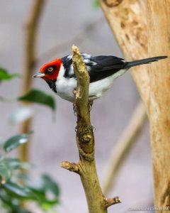 Red-capped cardinal (Photo: Cassandre Crawford)