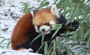 Here's a picture I took of a red panda. (Photo: Aimee Huff)