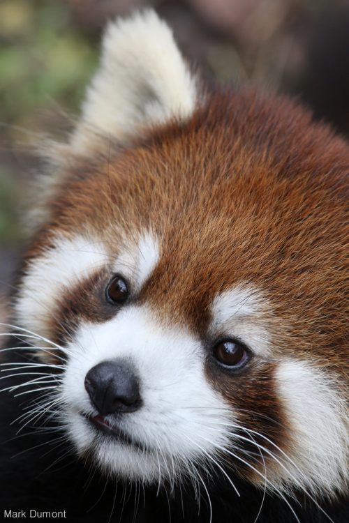 Red panda (Photo: Mark Dumont)