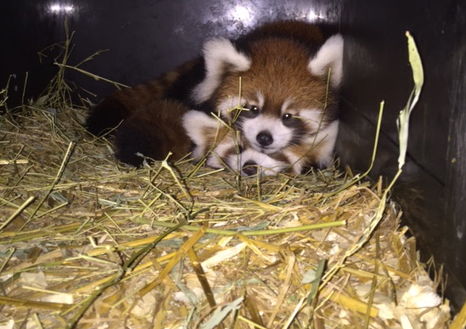 Harriet and Hazel the red panda cubs (Photo: Angela Hatke)