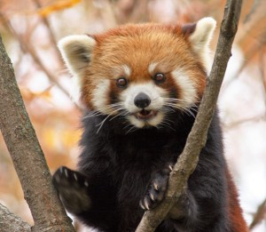 Red pandas like to climb trees! (Photo: Connie Lemperle)