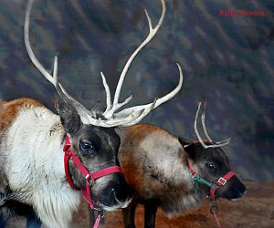 Reindeer (Photo: Kathy Newton)