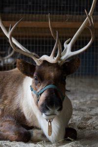 Reindeer (Photo: Mark Dumont)
