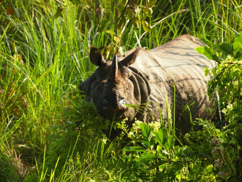 I think this rhino was somewhat surprised to see us when it emerged from the tall grasses.