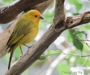 Saffron finch (Photo: ChengLun Na)