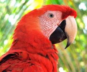 Scarlet macaw (Photo: ARCAS)