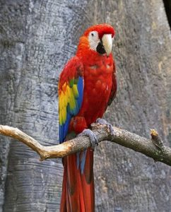 Scarlet macaw (Photo: David Ellis)