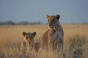 Lions in Kenya (Photo: Lily Maynard)