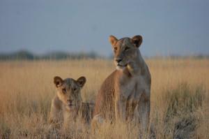 Lions in Kenya (Photo: Lily Maynard)