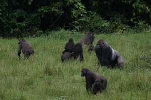 Gorillas in Congo (Photo: Thomas Breuer)
