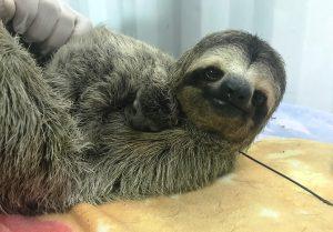 Mama sloth with baby (Photo: Amanda Chambers / Colleen Lawrence)
