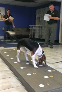 Elvis the beagle sniffs polar bear fecal samples.