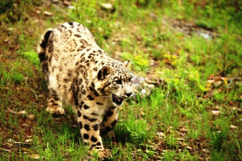 A snow leopard on the prowl. (Photo: Jerry & Patty Corbin)