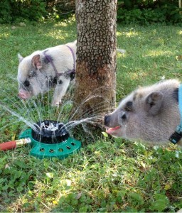 Magnolia and Thatcher get a drink from the sprinkler.