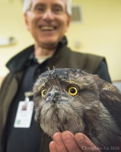 Tawny frogmouth (Photo: ChengLun Na)