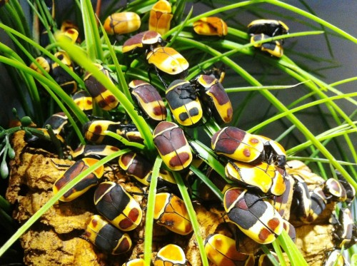 Taxicab beetles