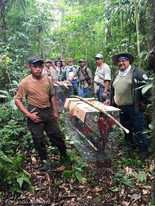 Carrying the macaws to the release site (Photo: Fernando Martinez, ARCAS)