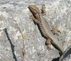 Wall lizards like this one have adapted novel anti-predatory behaviors in response to feral cats.