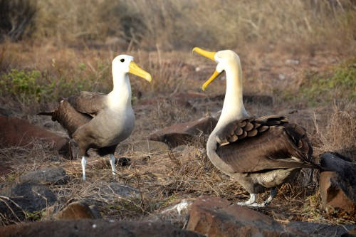 The waved albatrosses certainly weren't bothered by our presence. They continued with their courtship displays, bobbing heads and slapping beaks, not 10 feet away from us. (Photo: Shasta Bray)