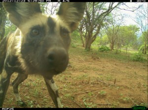 Painted dog caught on camera in Ruaha region (Photo: Ruaha Carnivore Project)