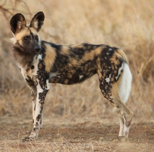 African painted dog (Photo: Christian Sperka)