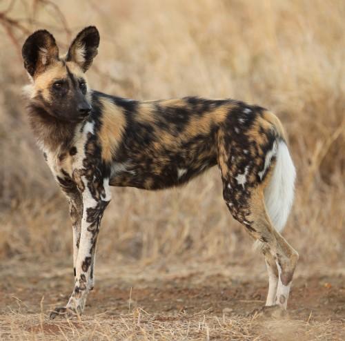 African painted dog (Photo: Christian Sperka)