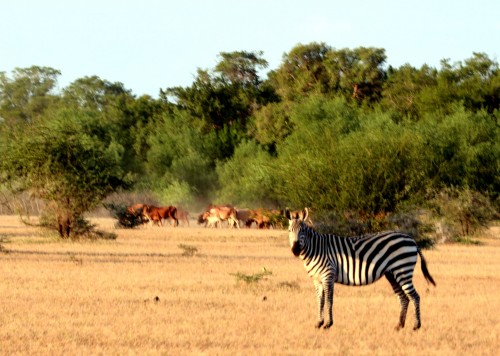 Zebra and cattle sharing the same space (Photo: Shasta Bray)