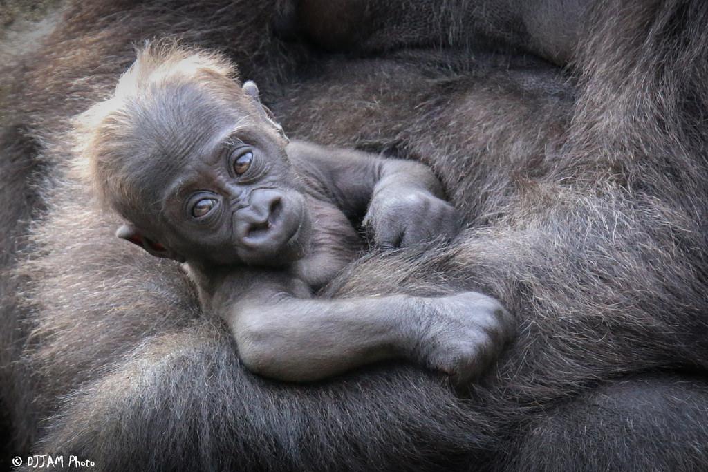 Elle, the 50th gorilla born at the Cincinnati Zoo (Photo: DJJAM)