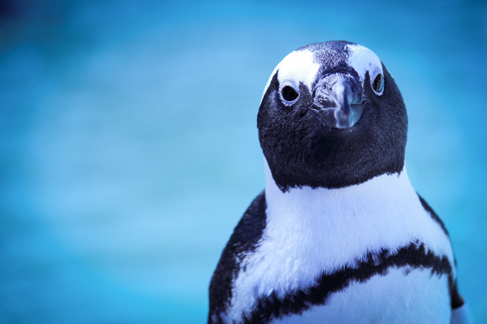 African penguin (Photo: SANCOBB)