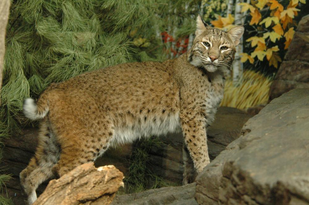 Bobcat exhibit (Photo: Mike Dulaney)