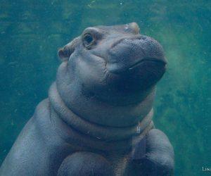 Fiona the hippo (Photo Lisa Hubbard)