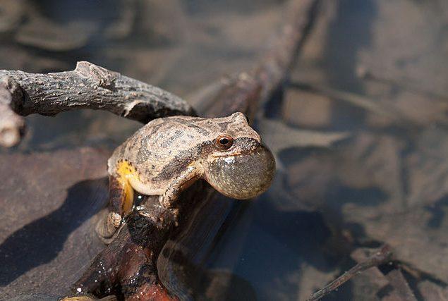 Spring peeper calling (Photo: Justin Meissen)
