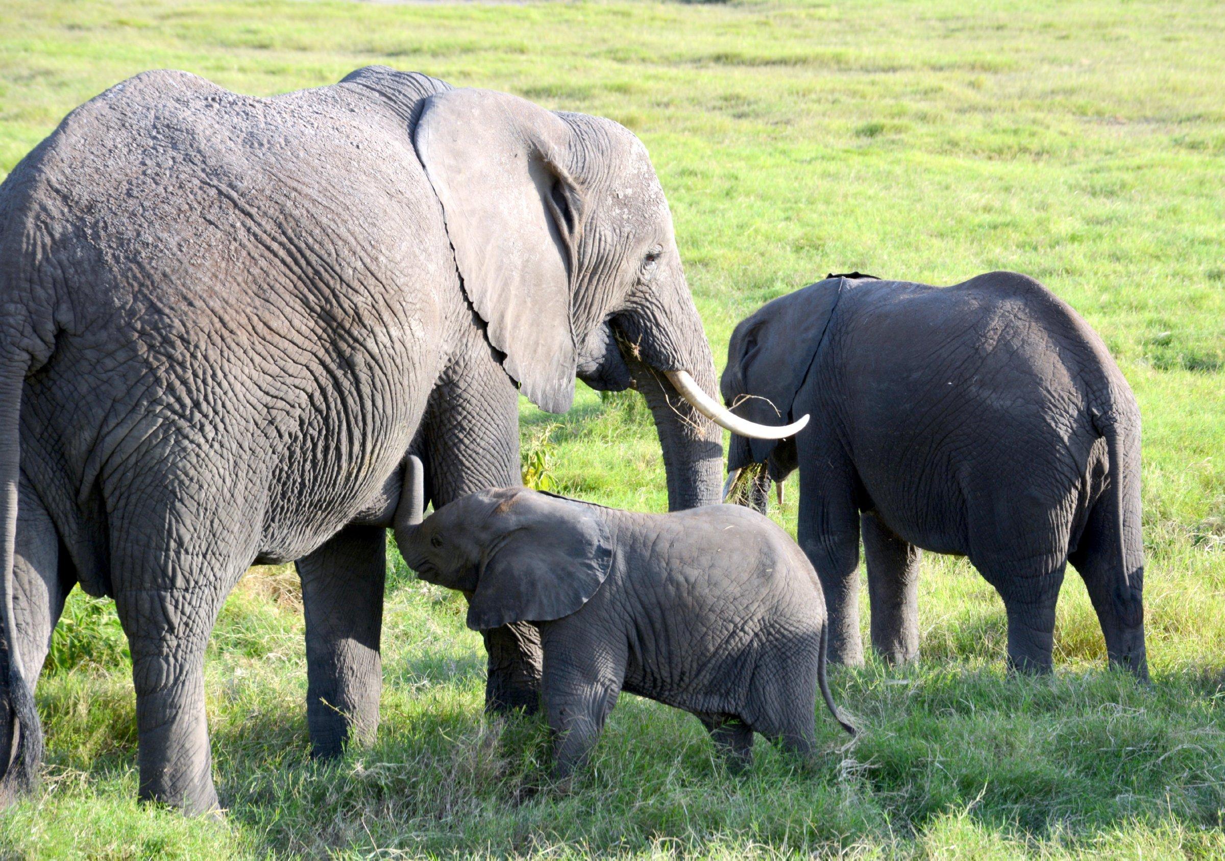 Young elephant nursing (Photo: Shasta Bray)