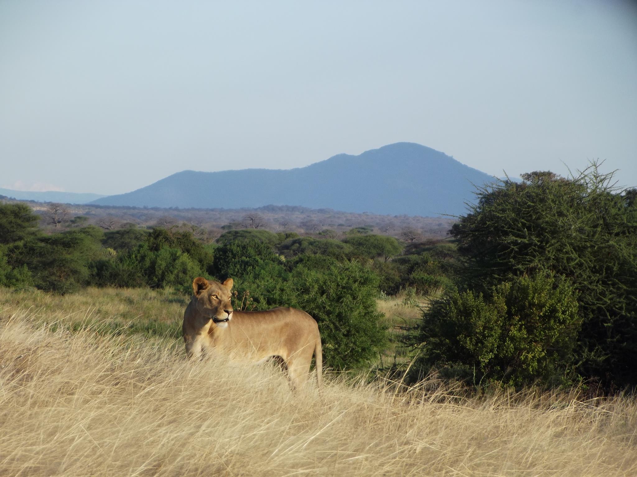Lion in Ruaha region of Tanzania (Photo: Ruaha Carnivore Project)