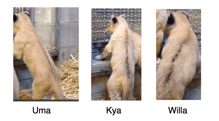 Lion Keeper's Blog: Who's Who? How to Tell the Cubs Apart ...