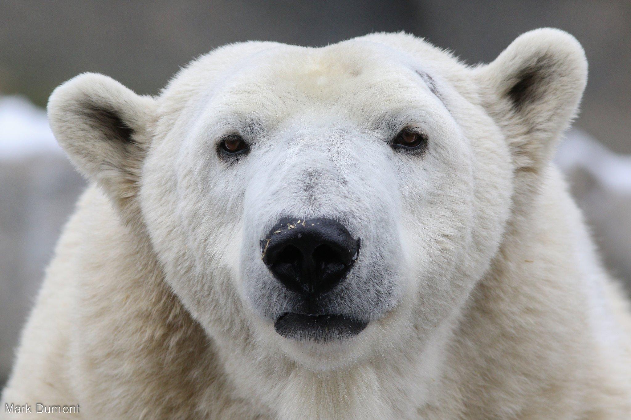 Berit the polar bear thanks you! (Photo: Mark Dumont)