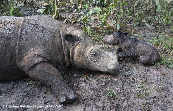 Ratu and her newborn calf (Photo: Stephen Belcher)