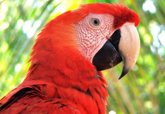 Scarlet macaw (Photo: ARCAS)